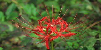 Cành hoa Bỉ Ngạn, Du lịch Nhật Bản